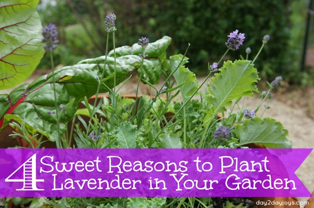 4 Sweet Reasons to Plant Lavender in Your Garden